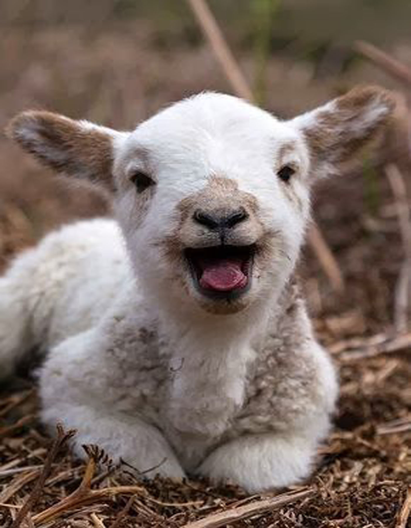 lamb laugh
